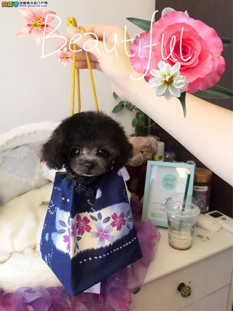 出售精品泰迪熊宝宝、苹果脸、活泼可爱、包健康