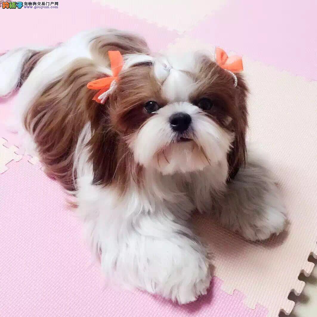 出售纯种西施犬,可爱萌宝,专业繁殖犬舍
