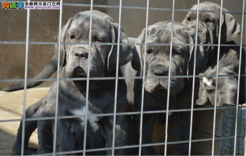 纯种实拍三联质保正规犬舍出售纽波利顿犬