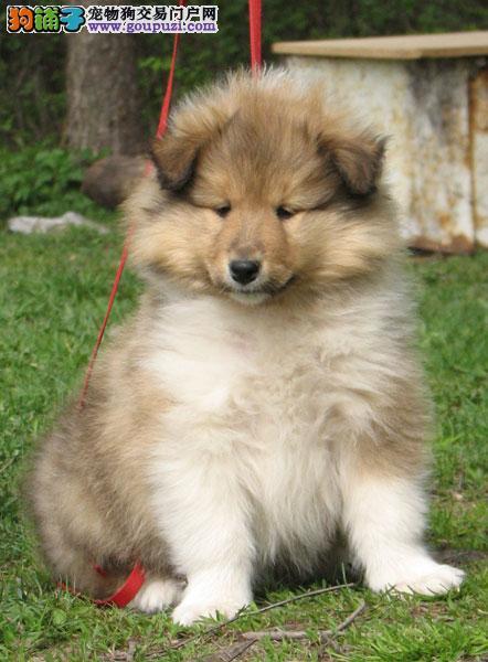 真实拍摄实体犬舍正规繁殖纯种苏牧幼犬