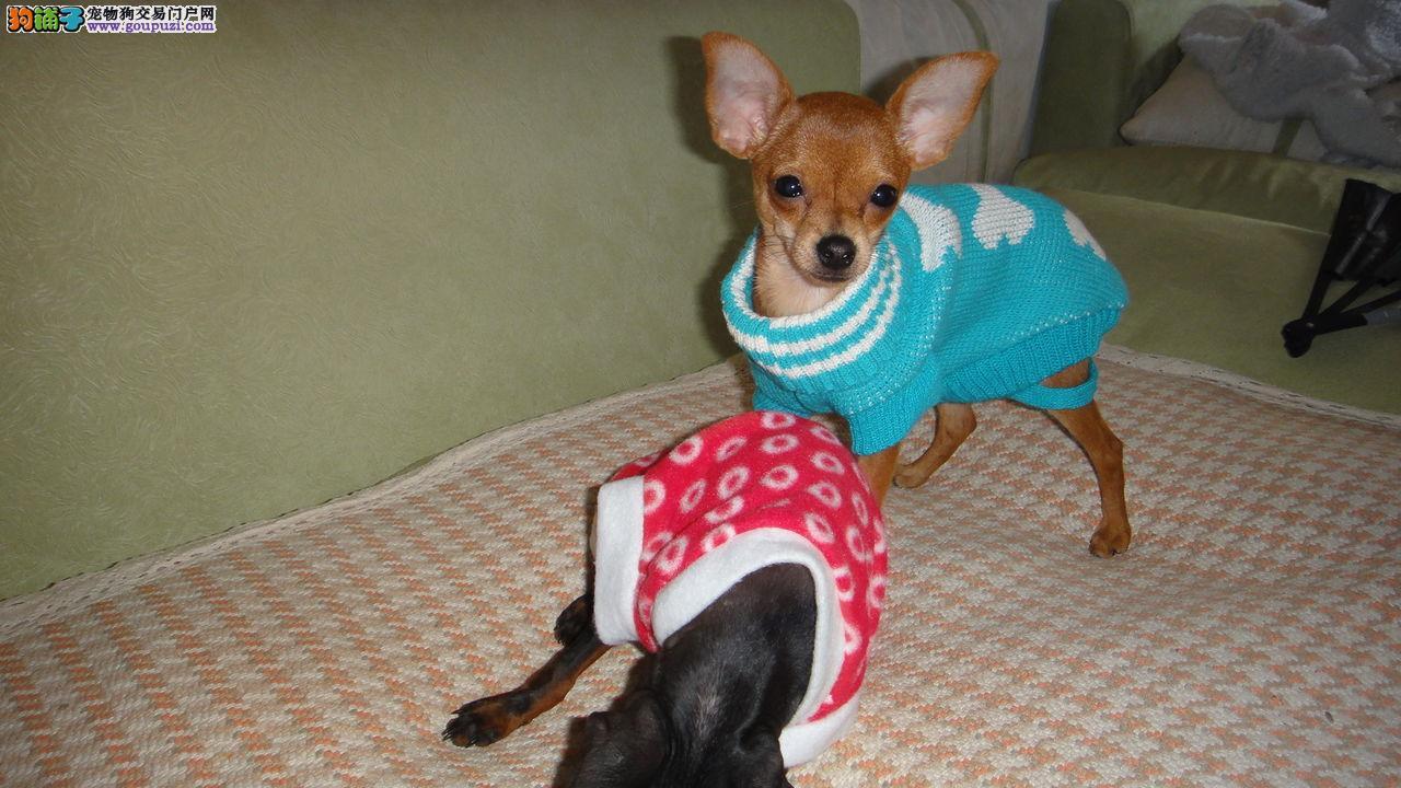 广州什么地方能买到纯种小鹿犬 广州哪里有正规狗场