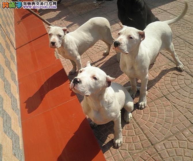繁殖纯种杜高犬舍血统纯正三针做齐的幼犬出售