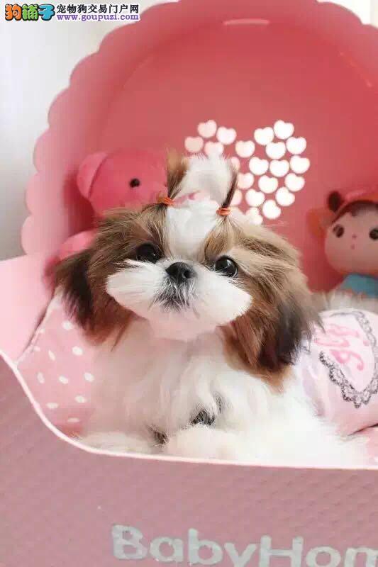 名贵犬,高品质纯种西施犬,正规犬舍专业繁殖西施幼犬