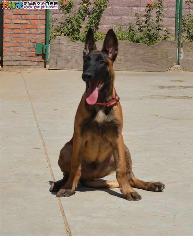 正规专业繁殖马犬基地常年出售马犬幼犬纯种