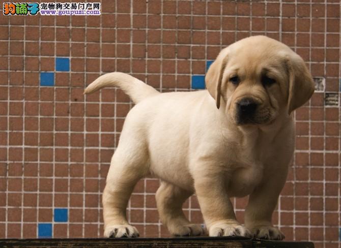 高端拉布拉多 全国知名NGKC注册犬舍 颜色全