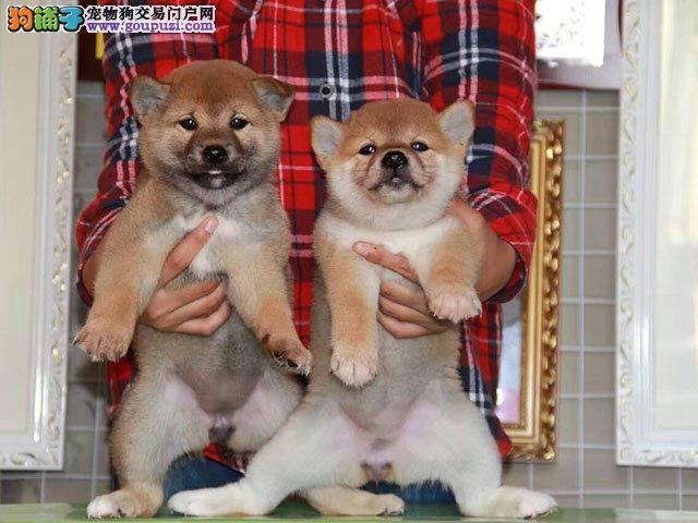 高品质纯种柴犬,血统纯,健康质保,带证书