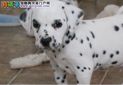 大斑点狗,自家狗场出售幼犬,三针做齐保纯种