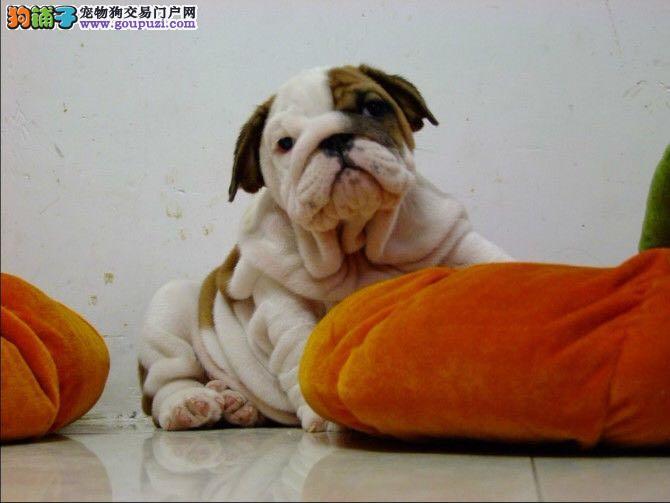 赛级斗牛犬特价出售 可签订协议送赠品欢迎来杭州购买