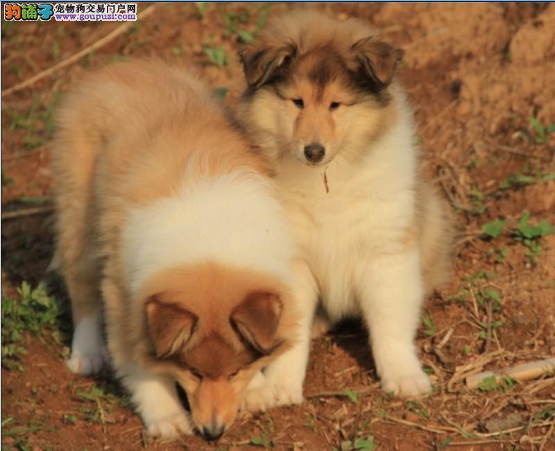 高品质苏牧带血统出售中 终身质保 质量三包 正规犬舍