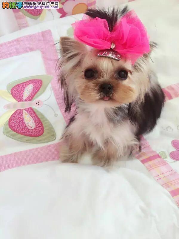 南京出售约克夏幼犬品质好有保障CKU认证品质绝对保障