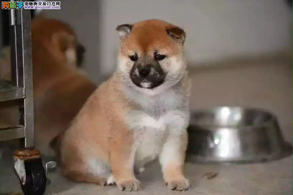 赛级双血统柴犬、纯种日本柴犬出售