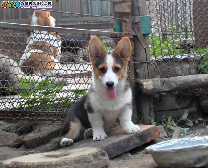 纯种柯基犬,犬舍繁殖,品质保障