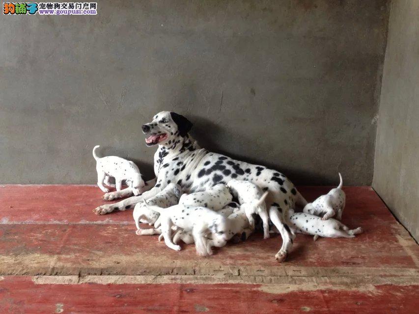 大麦町 斑点犬 都纯种健康