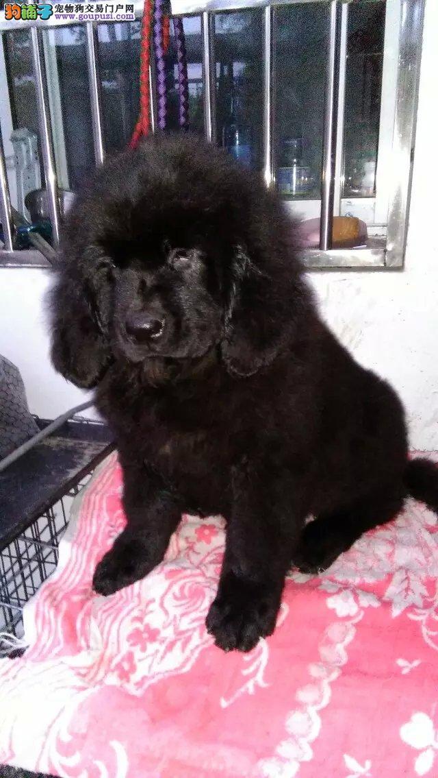 南宁最大的纽芬兰犬基地 完美售后优质售后服务