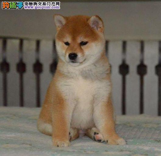 出售多种颜色纯种柴犬幼犬血统证书芯片齐全