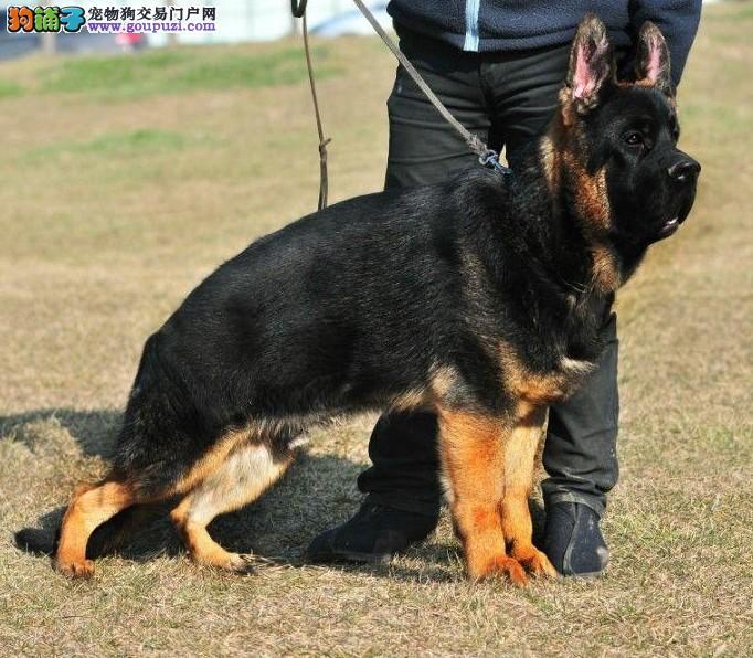 出售高端狼狗、价格美丽品质优良、签订正规合同
