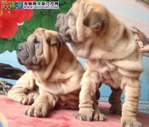 天津CKU认证犬舍出售高品质沙皮狗喜欢来电咨询