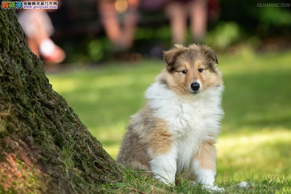 东莞总狗场直销纯种牧羊犬,纯种苏格兰牧羊犬幼犬