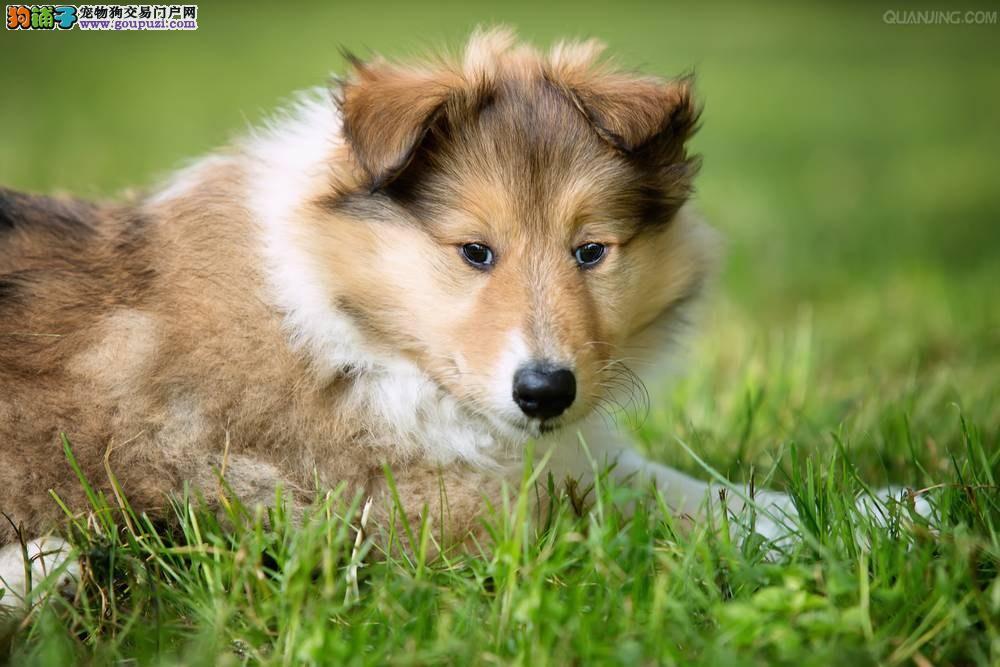 苏牧 纯正苏格兰牧羊犬宝宝 保纯种+健康!