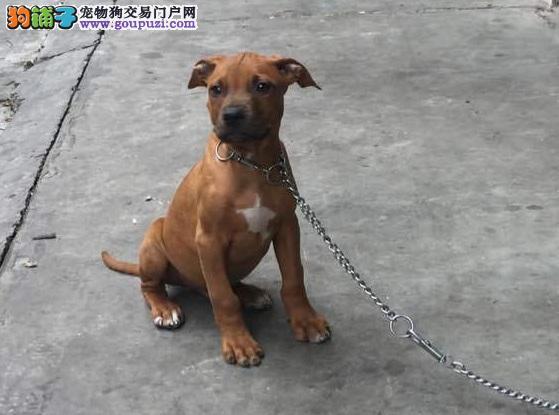 出售比特犬幼犬,金牌店铺品质第一,可送货上门