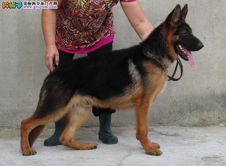 出售正宗血统优秀的保定昆明犬可直接视频挑选