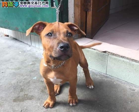南京出售颜色齐全身体健康比特犬真实照片视频挑选