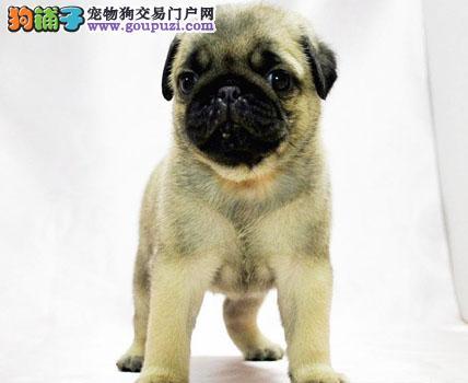 精品赛级巴哥犬、纯种健康品相优良、购犬可签协议