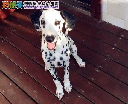 出售斑点狗健康养殖疫苗齐全保终身送用品