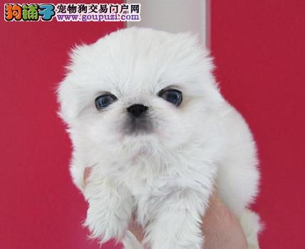 赛级品相京巴幼犬低价出售保障品质一流专业售后