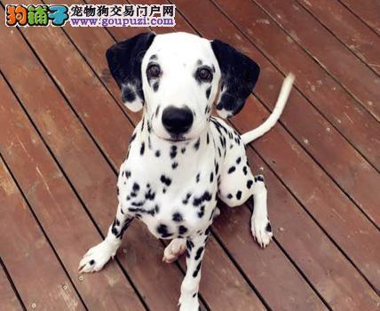 极品纯正的斑点狗幼犬热销中品质优良诚信为本