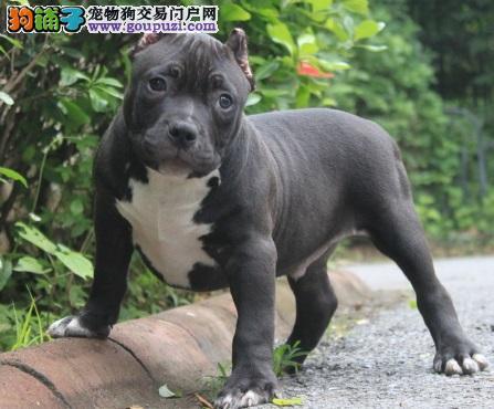 北京出售颜色齐全身体健康美国恶霸犬品相一流疫苗齐全