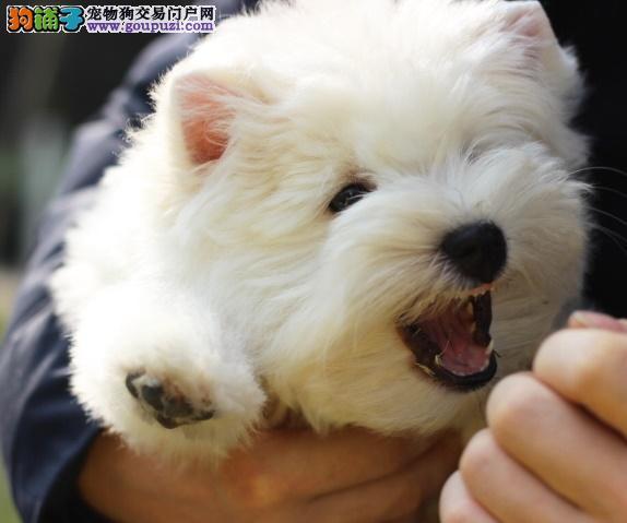 西高地犬 纯种品质 健康第一 幼犬开始出售