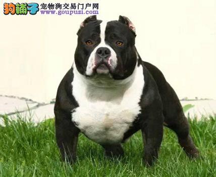 出售极品美国恶霸犬幼犬完美品相欢迎实地挑选