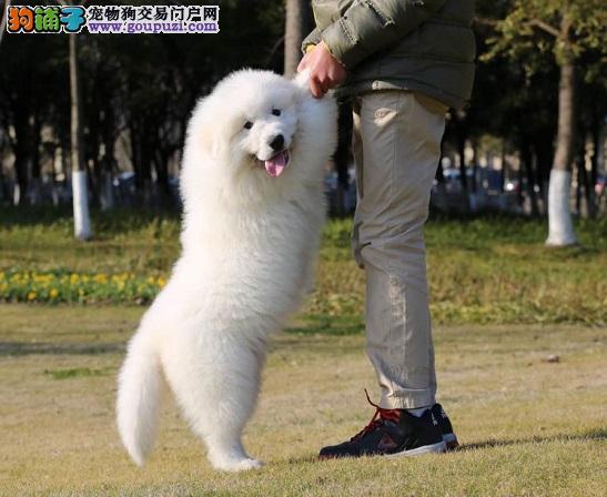 赛级品纯种大白熊幼犬品质保障品相极佳确保健康