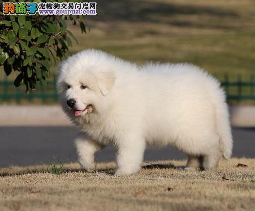 南京售大白熊幼犬 活泼 聪明 最好的家庭伴侣