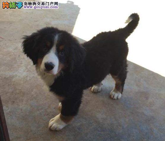 滁州知名犬舍出售多只赛级伯恩山终身售后送货