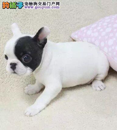 纯种法国斗牛犬宝宝重庆地区找主人爱狗人士优先狗贩勿扰