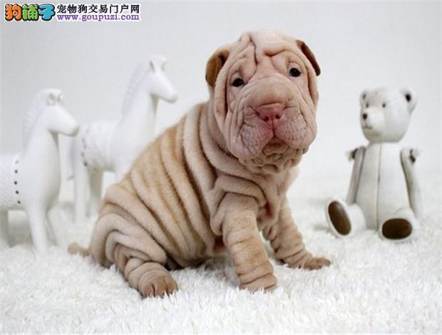 国际注册犬舍 出售极品赛级沙皮狗幼犬喜欢微信咨询