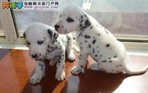 狗场繁殖 纯种健康斑点狗幼犬、三年联保、可签协议
