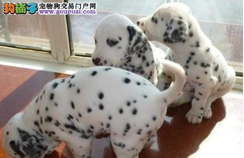 斑点狗济南最大的正规犬舍完美售后济南市内免费送货