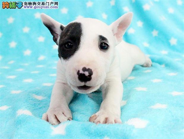 国际注册犬舍 出售极品赛级牛头梗幼犬血统证书芯片齐全