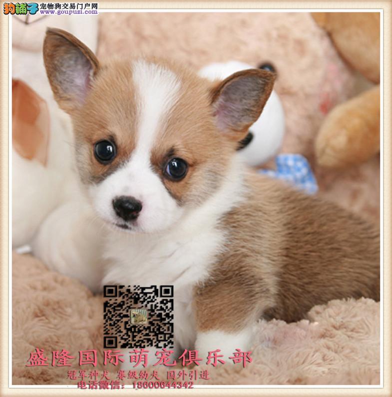 盛隆国际萌宠俱乐部︻柯基犬犬︻全国连锁 售后有保障