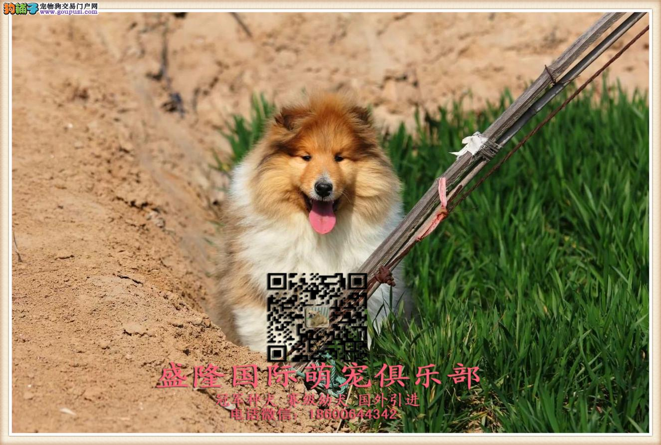 盛隆国际萌宠俱乐部︻苏格兰犬︻全国连锁 售后有保障