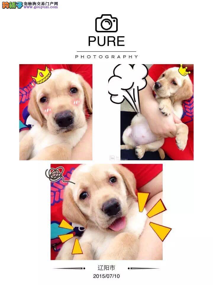高品质拉布拉多幼犬出售