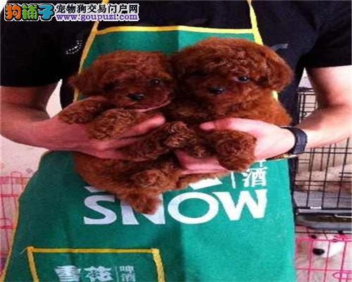 出售各种世界名犬 可视频看狗自取1000