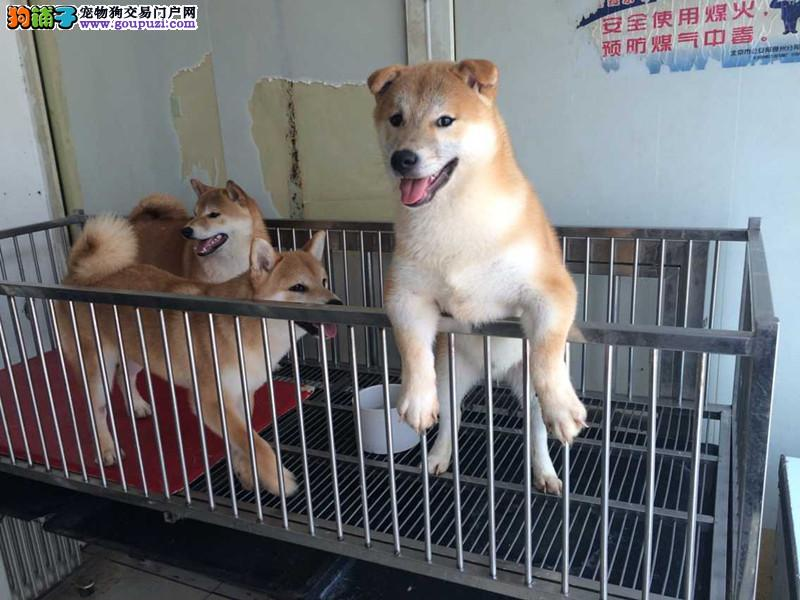 赛级日本柴犬幼犬 品相好 血统纯自取1000