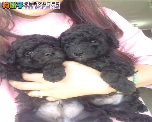 宁波纯种泰迪出售、可视频看狗、自取1000