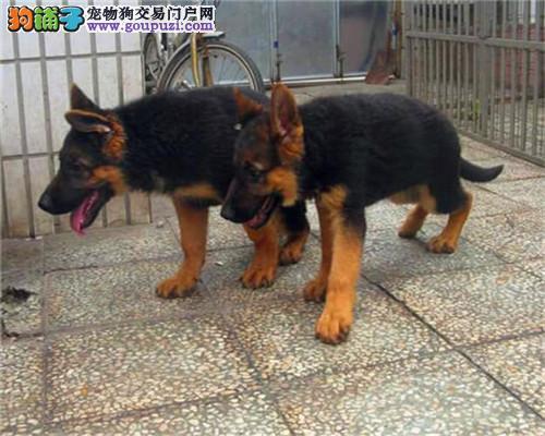 出售可爱极品德牧宝宝幼犬自取1000