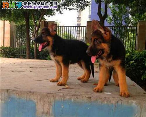 上海家养纯种德牧做过疫苗去过虫.自取1000