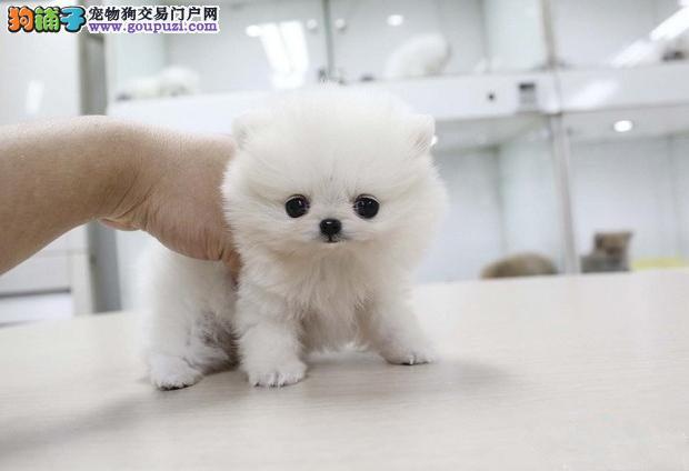 杭州纯种博美宠物 可视频看狗 自取半价